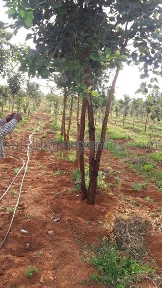 Red Sandal Plantation Plots